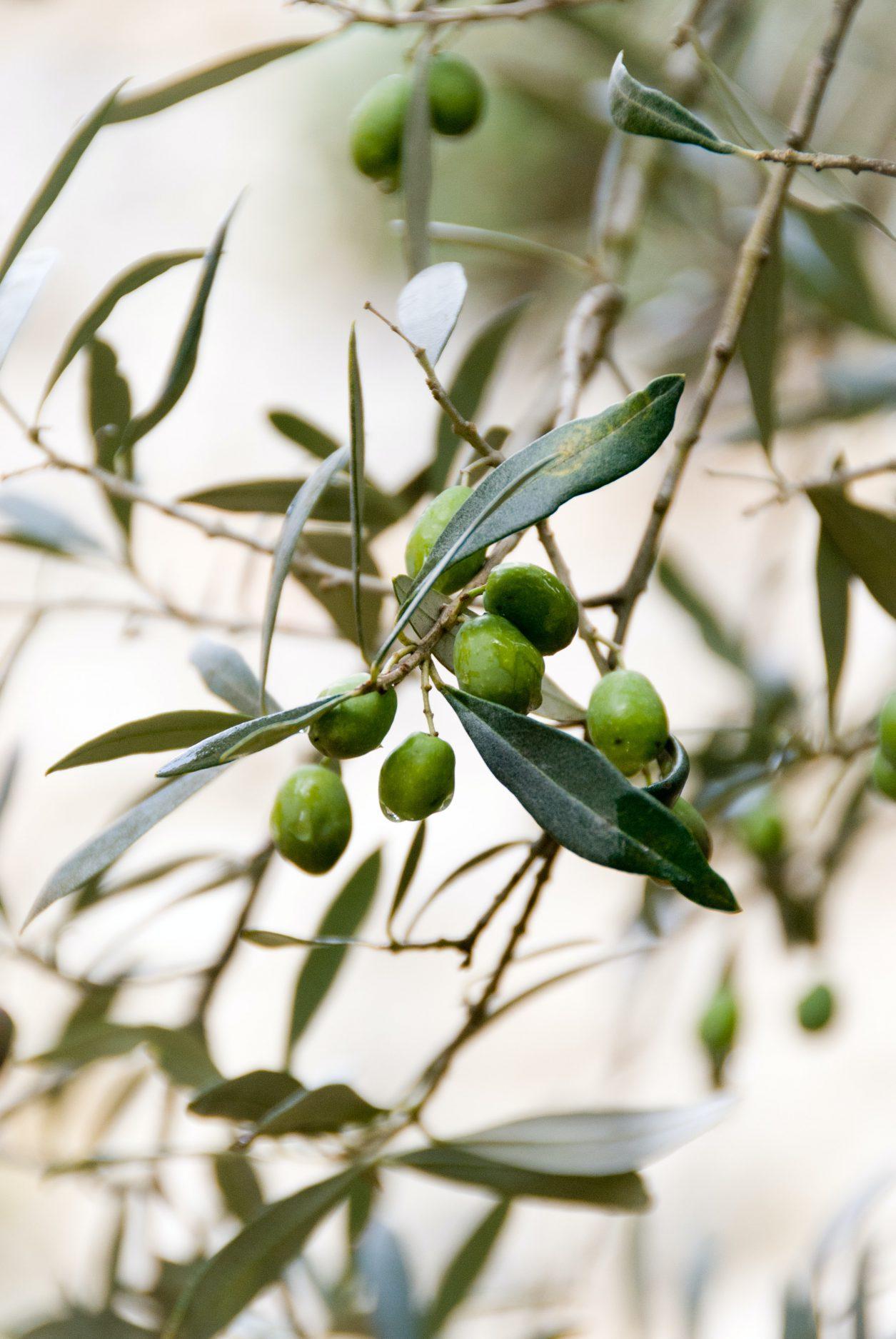 olijfolie bij krullend haar