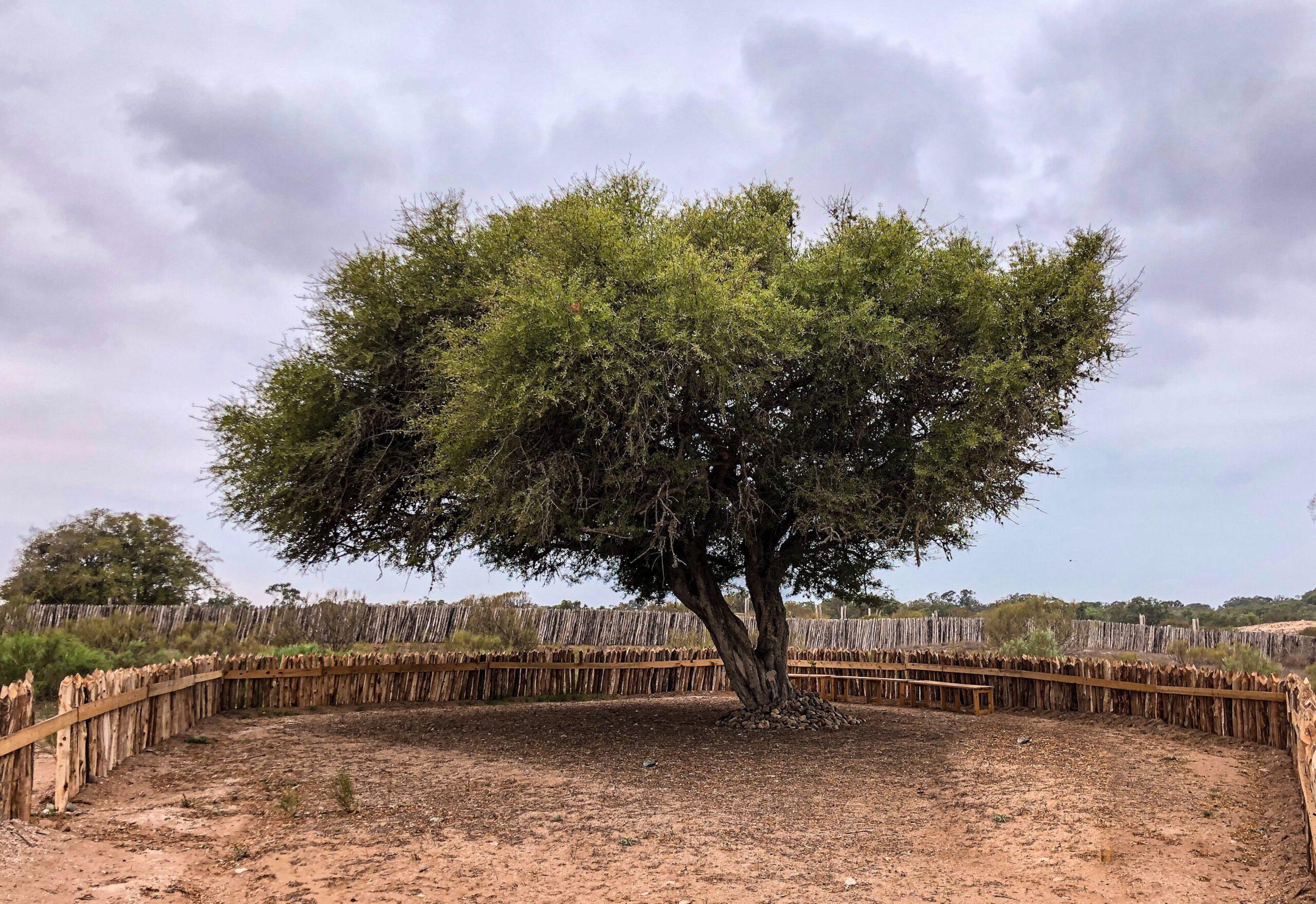 argan olie haar de arganboom